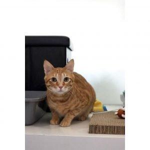 【寵物領養】猫猫 Ah Jai